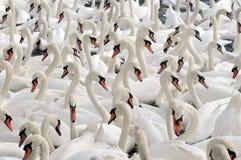 Cisnes que alimentan en el Swannery de Abbotsbury Imagenes de archivo