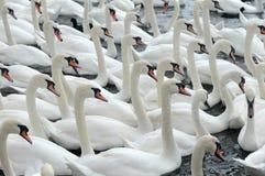 Cisnes que alimentan en el Swannery de Abbotsbury Foto de archivo libre de regalías