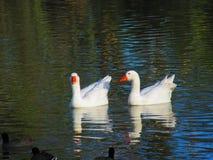Cisnes que amam o dia Foto de Stock Royalty Free