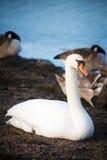 Cisnes que descansam na costa em Helsínquia Fotografia de Stock Royalty Free