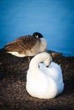 Cisnes que descansam na costa em Helsínquia Fotos de Stock Royalty Free