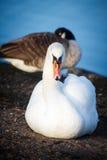 Cisnes que descansam na costa em Helsínquia Fotografia de Stock