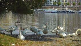 Cisnes que descansan en Praga almacen de video