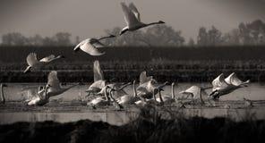 Cisnes que descolam o Sepia foto de stock