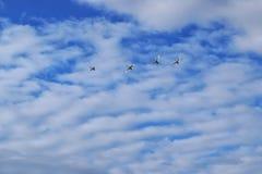 Cisnes que emigran Fotos de archivo