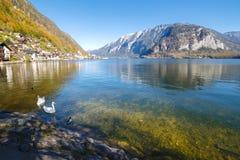 Cisnes que flotan en el lago Imagen de archivo libre de regalías