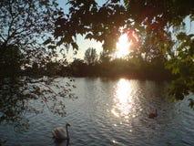 Cisnes que flotan en el río en un día de veranos hermoso Fotografía de archivo libre de regalías