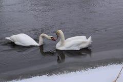 Cisnes que hablan con uno a fotografía de archivo