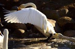 El jugar de los cisnes Fotos de archivo libres de regalías