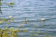 Cisnes que nadam Imagens de Stock Royalty Free