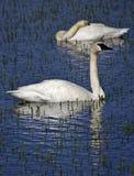 Cisnes que nadam fotos de stock royalty free