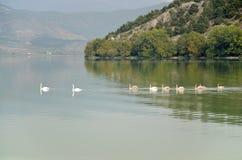 Cisnes que nadam em seguido Imagem de Stock