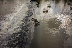 Cisnes que nadam em um lago Fotos de Stock Royalty Free