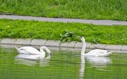 Cisnes que nadam em uma lagoa Foto de Stock