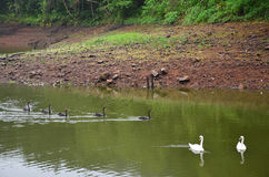 Cisnes que nadam no lago do reservatório em Pang Ung Foto de Stock Royalty Free