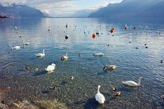 Cisnes que nadam no lago Genebra, Vevey, cantão de Vaud Fotografia de Stock Royalty Free