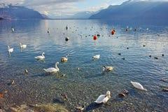 Cisnes que nadam no lago Genebra, Vevey, Suíça Imagem de Stock