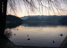 Cisnes que nadam no lago no por do sol fotos de stock royalty free