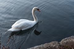 Cisnes que nadam no lago no por do sol imagens de stock royalty free