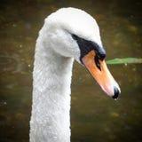 Cisnes que nadam no sol quente Fotografia de Stock Royalty Free