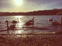 Cisnes que nadan en el lago Lago lugano, Suiza Imagenes de archivo