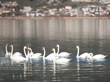 Cisnes que nadan en el lago Pamvotis, Epirus, Grecia Fotos de archivo