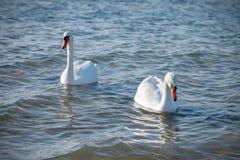 Cisnes que nadan en el mar Fotografía de archivo