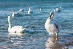 Cisnes que nadan en el mar Foto de archivo libre de regalías