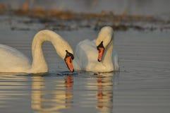 Cisnes que nadan en el río Un par de pájaros en el agua Amor Imagenes de archivo