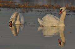 Cisnes que nadan en el río Un par de pájaros en el agua Amor Fotos de archivo libres de regalías