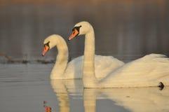 Cisnes que nadan en el río Un par de pájaros en el agua Amor Imágenes de archivo libres de regalías