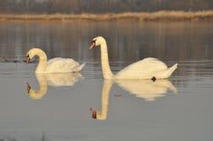 Cisnes que nadan en el río Un par de pájaros en el agua Amor Fotografía de archivo libre de regalías