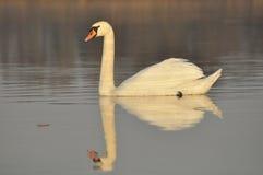 Cisnes que nadan en el río Un par de pájaros en el agua Amor Foto de archivo