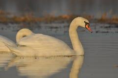 Cisnes que nadan en el río Un par de pájaros en el agua Amor Imagen de archivo