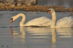 Cisnes que nadan en el río Un par de pájaros en el agua Amor Fotografía de archivo