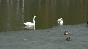 Cisnes que nadan en una charca del parque en primavera temprana almacen de video
