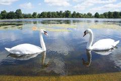 Cisnes que se acercan en un lago Imagenes de archivo