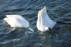 Cisnes que se zambullen en agua en primavera Fotografía de archivo