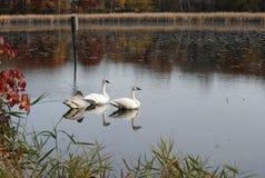 Cisnes que sentam-se em um lago foto de stock royalty free