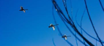 Cisnes que voam na formação de volta a em casa do sul com as varas no tiro imagens de stock royalty free