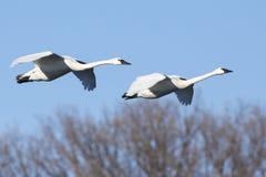 Cisnes que voam o céu azul do agist fotos de stock
