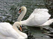 Cisnes reales blancos foto de archivo