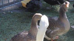 Cisnes respecto a almacen de metraje de vídeo