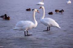 Cisnes sós no gelo no lago no inverno Fotografia de Stock Royalty Free