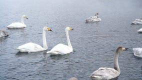 Cisnes salvajes en el primer del lago Invierno frío, niebla 4k de la niebla almacen de metraje de vídeo