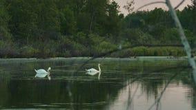Cisnes salvajes en una superficie reservada del agua de un lago del bosque almacen de metraje de vídeo