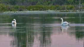 Cisnes salvajes en una superficie reservada del agua metrajes