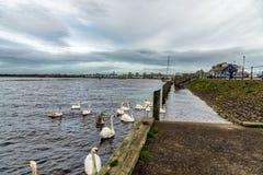 Cisnes, sellos y el puerto ocupado de Irvine en la costa oeste de Escocia Foto de archivo