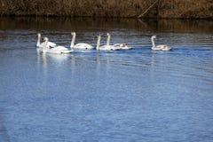 Cisnes selvagens Imagem de Stock Royalty Free