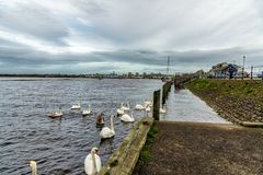 Cisnes, sinetes & o porto ocupado de Irvine na costa oeste de Escócia foto de stock
